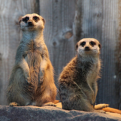 Especially popular with visitors are the meerkats.