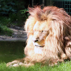 Lion Malik, star of the zoo